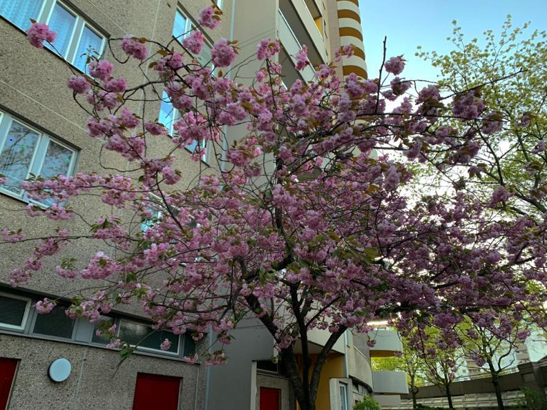 Blühende Krone eines Kirschbaums vor Neubaufassade